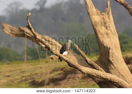 Grey-Headed Fish Eagle on the Kabini River in Nagarhole National Park in India