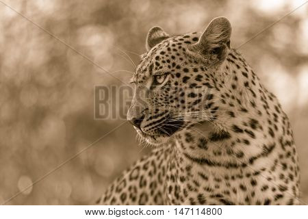 This image was taken in the Sabi Sand in the Simbambili area. She was a young female approximately 2 and half years old and was on the hunt. She popped up a termite mound to pose for this image. I thought a sepia look gave this a more striking look.