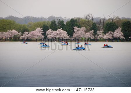 People operating paddle boats on the Washington DC tidal basin while cherry blossoms bloom in the background.