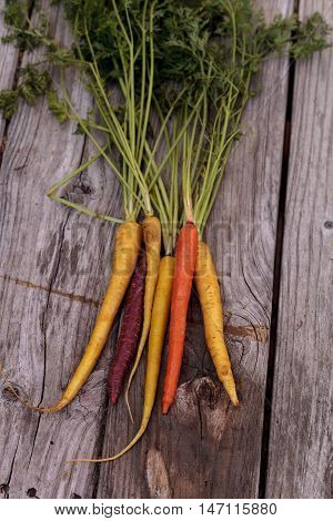 Bunch of colorful red, yellow and orange organic carrots with a green carrot top on rustic wood.
