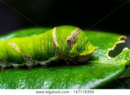 Macro close- up Caterpillar, green worm eating the leaves