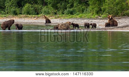 Group of brown bears with offspring on the shore of Kurile Lake. Southern Kamchatka Wildlife Refuge in Russia.