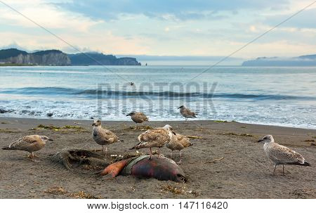 Pacific Gull eating a dead seal on the beach.