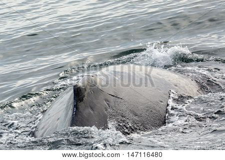Fin on the back of humpback whale in the Pacific Ocean. Water area near Kamchatka Peninsula.