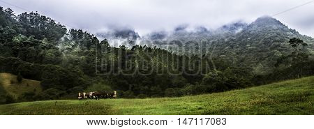 Pano group of three Hereford bulls with a wild misty forest background.