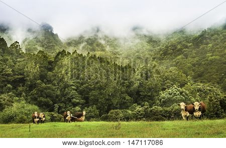 Group Hereford bulls with a wild  misty forest background.