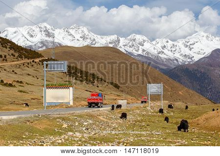 A herd of yaks graze and truck on the road in Tibet under snow mountain Sichuan China