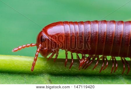 The Millipede walking on a green leaf