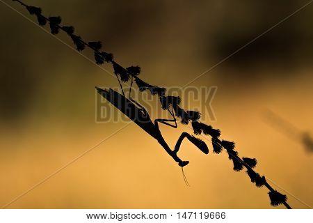 Silhouette Of Mantis Religiosa - Common Name Praying Mantis An Early Morning