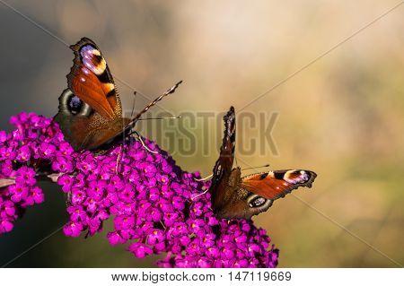 Two The European Peacock (aglais Io) On Violet Flower