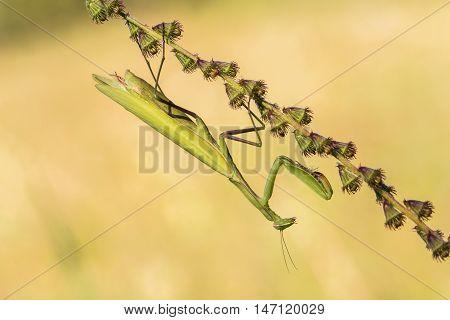 Mantis Religiosa - Common Name Praying Mantis An Early Morning