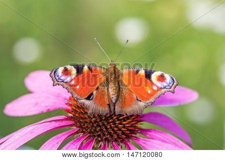 Two The European Peacock (aglais Io) On Pink Flower