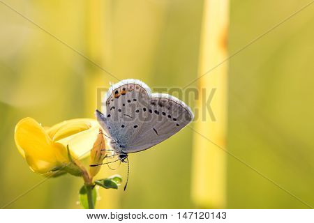 Short-tailed Blue Or Tailed Cupid (cupido Argiades) On Yellow Flower