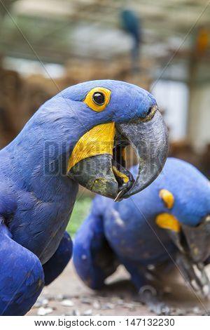close up hyacinth macaw bill head shot