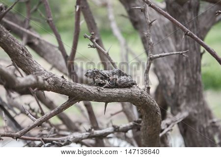 Tree frog toad sits quietly on a branch hidden in plain sight