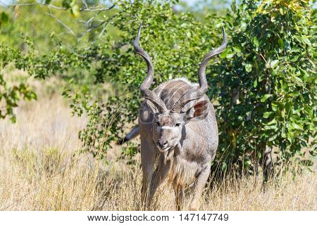 Male Kudu in the bush. Wildlife Safari in the Kruger National Park major travel destination in South Africa.