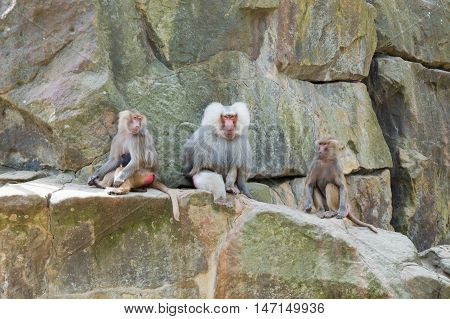 Three baboons on rocks female and male
