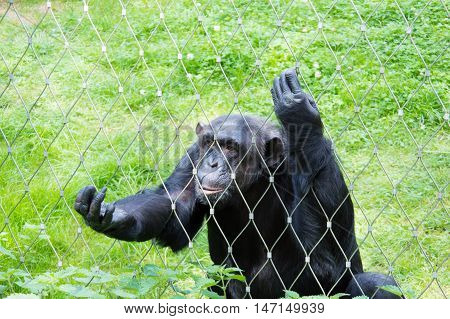 Sad and alone chimpanzee in cage at zoo