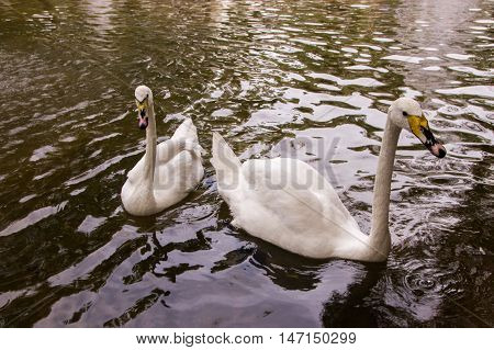 Swans swimming in a pond with a fountain in Old Square Park Almaty Kazakhstan