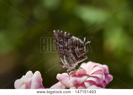 Geranium bronze, Cacyreus, marshalli. It is a butterfly in the family Lycaenidae native of South Africa. It has introduced to Mediterranean Europe where it has spread as a pest of cultivated Pelargonium geraniums.