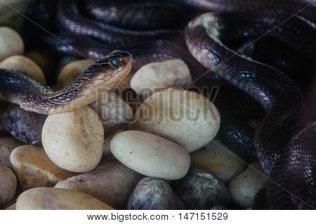 The Cobra snake farm in Phuket Thailand.