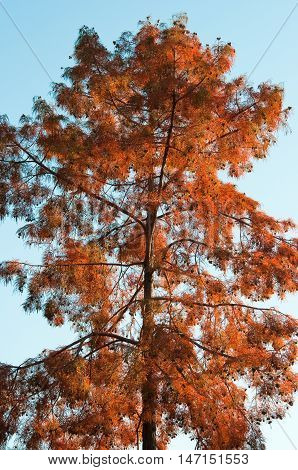 Foliage of a Bald Cypress in autumn