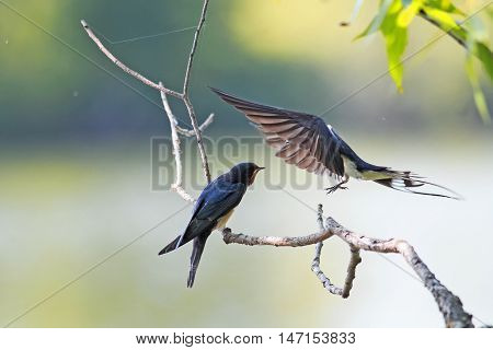 bird swallow brought their chick food on a branch over the pond