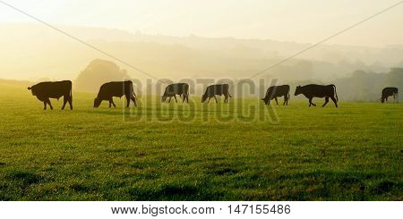 Herd of cows grazing on a farmland in Devon England