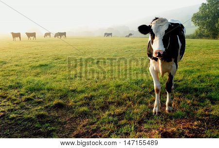 Herd of cows grazing on a farmland in Devon England