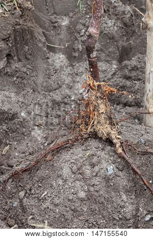 Root fruit tree saplings in landing pit outdoors closeup step by step guide