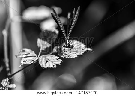 beutiful small dragonfly on a leaf outdoor black and white macro closeup
