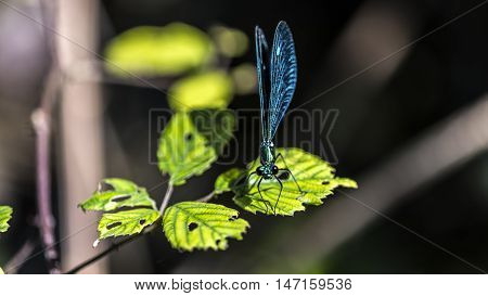 emerald dragonfly on a leaf outdoor macro closeup