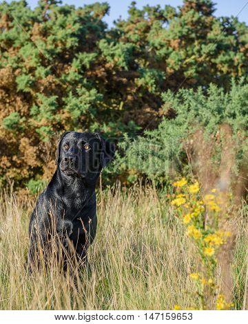 Black Labrador Retriever in long dry grass.