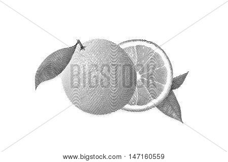 Drawn Sketch painting orange painting on white background. Illustration of fruit orange with leaves Black and white