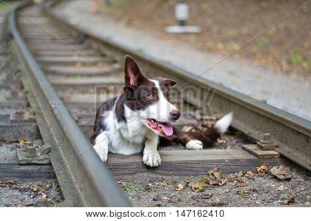 dog lying on the rails. selective focus