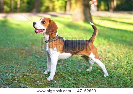 beagle standing on the grass in the park
