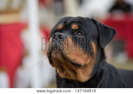 Cloose -up head shot of Rottweiler .selective focus