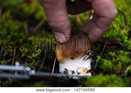 man cuts white mushroom knife outdoors closeup