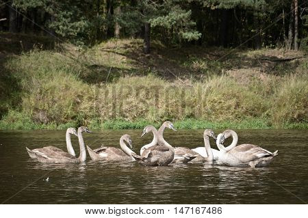 wild swans on the wild forest river vilia in belarus
