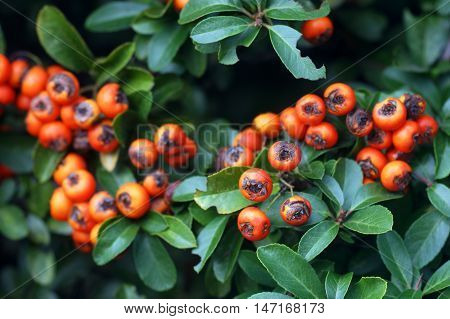 Pyracantha red berries among the green leaves