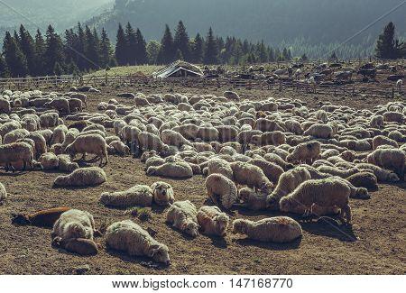 Sheep Resting In Sheepfold