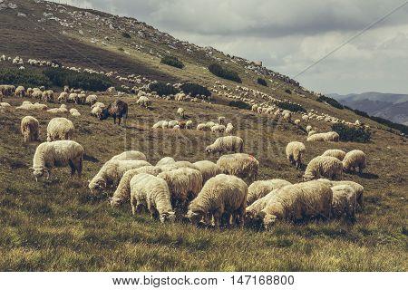Grazing Flock Of Sheep