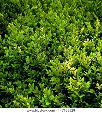 Background of Evergreen Shrub Plants closeup Outdoors. Selective Focus