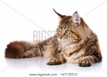 Maine Coon cat With long brown wavy hair , lying and looks toward of white background