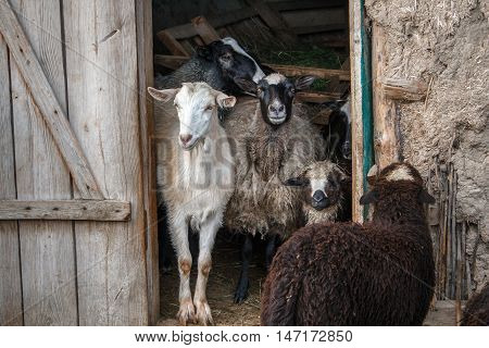 Goat And Sheeps In The Doorway Of The Barn. Herd Of Pet On Farm.