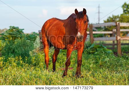 Brown Horse Grazes On A Leash Next To The Stables, Horse Looking At The Camera
