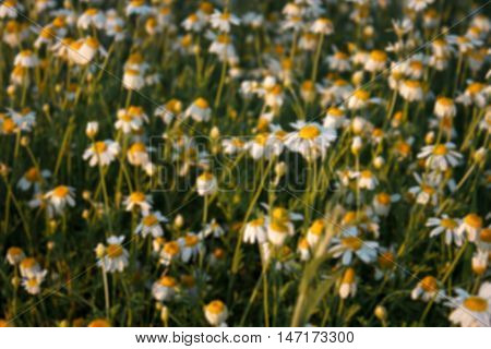 Field Of Camomile (matricaria Chamomilla) Flowers. Flower Texture. Blurred Background