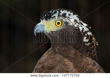 Closeup bird of prey portrait of a crested serpent eagle