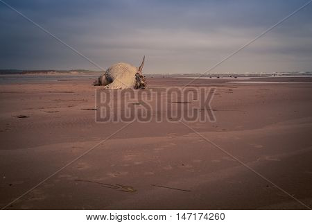 Rotten corpse of a whale on a beach in Prince Edward Island