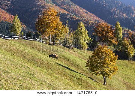 Scenic autumn farmland landscape with cow grazing on a pasture.